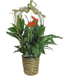 As shown with Spathiphyllum
