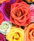 Roses Every Month